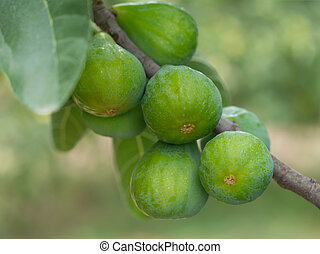 Green figs on the tree, Fiorone figs, Ialy.