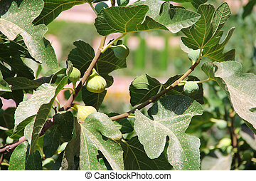 Green figs on the tree