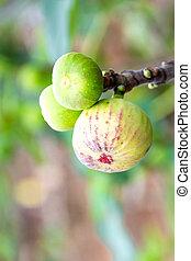 Green figs on tree branch