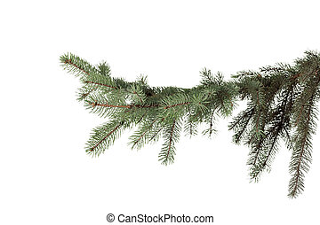 green fir branch for christmas, isolated on white