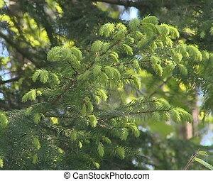 Green fir branches swinging