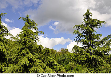 green fir on the background of blue sky