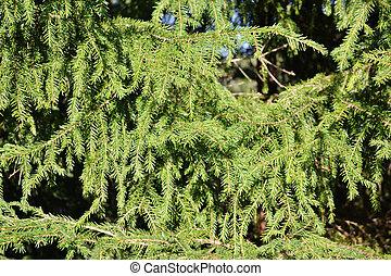 Green fir texture