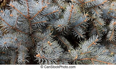 Green fir tree branch moving in the light wind breeze. Video...