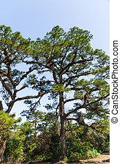 Green Fir trees