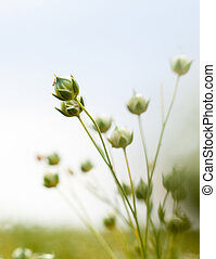 Green flax capsules in the field - Green flax (Linum ...