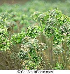 green flowers in a field