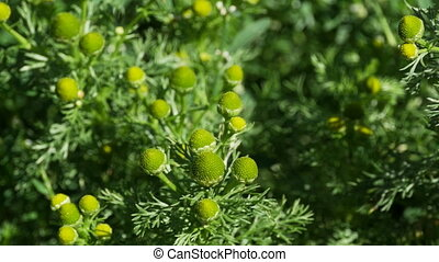 green flowers without petals chamomile odorous close-up, tracking shot