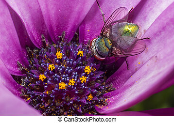 Green fly looking for nectar in a daisy