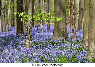 Green foliage and millions of bluebells