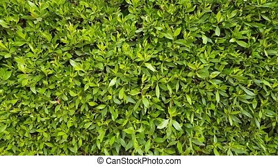 green foliage background - green bushes background. a lot of...