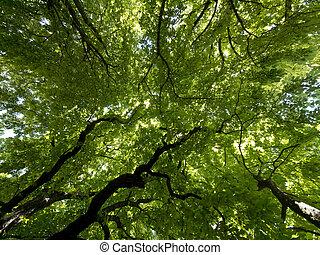 Green foliage - Looking up into beautiful green tree foliage