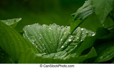 foliage with water drops in summer park