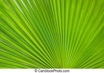 Green Footstool Palm Leaf through which the sun shines through.