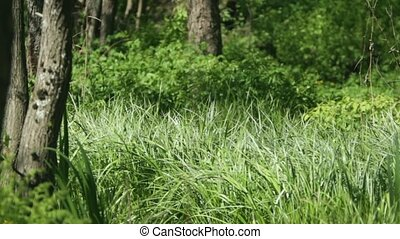 Green forest dense thickets - green forest wilderness areas...