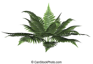 Green Forest Fern - Green forest fern on a white background