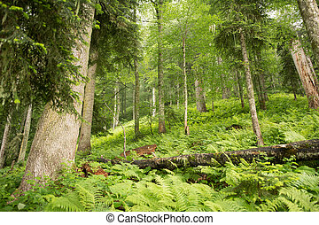 Green forest in the mountains. Russia,Krasnaya Polyana.