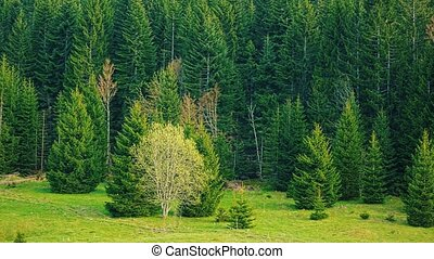 Green forest nature - Beautiful nature of the evergreen...