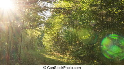 Green Forest. Pine Trees. Camera movement inside the forest...
