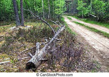 green forest summer - summer landscape forest Karelia,...