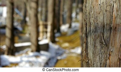 Green forest trunk in winter.