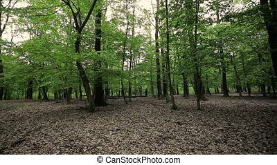 Green forest with oak trees at springtime