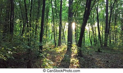 Green forest with trees and sun - Green forest with autumn...
