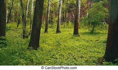 Green Forest. Woodland Landscape. Steadicam shot - Green ...