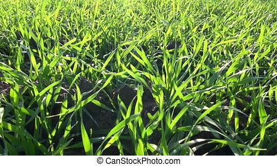 green fresh crop sprouts background
