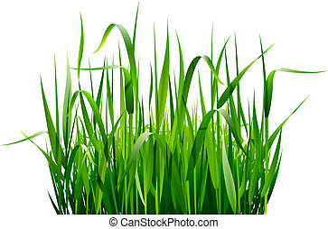 Green fresh grass isolated on white