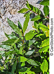 Green Fresh Laurel Bush Leaves