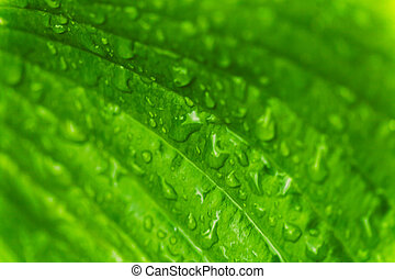 Green fresh leaves with raindrops. Close up background.