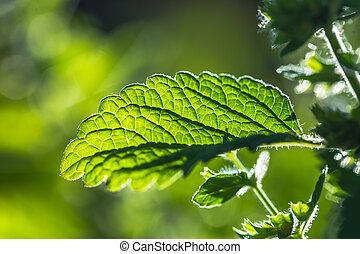 Green fresh melissa leaves close up. Backlit Lemon Balm leaves.