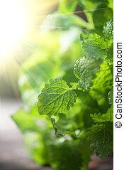 melissa - Green fresh melissa leaves close up
