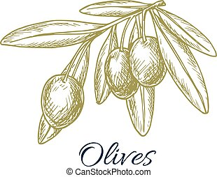 Green fresh olives branch vector sketch