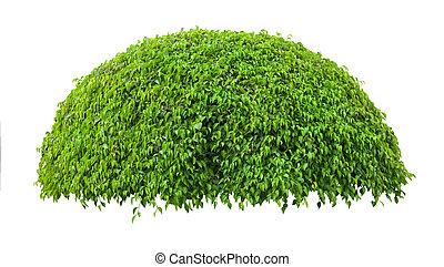 Green fresh ornamental tree