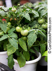 Green fresh tomatoes in pots
