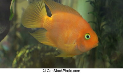 Green freshwater aquarium with golden fishes - Close-up of a...