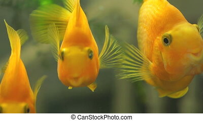 Close-up of a beautiful golden fishes in freshwater aquarium