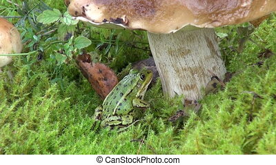 Green frog and mushroom - Little Water Frog sitting under...