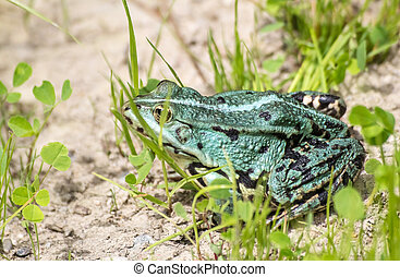 green frog basking in the sun sitting on the shore of a pond