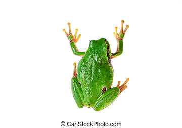 Green frog climbing on white background.