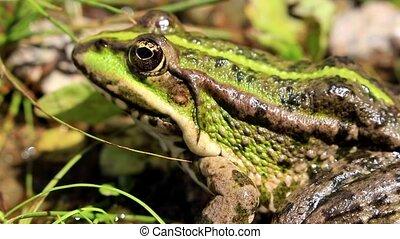 Green frog closeup