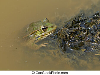 Green frog floating