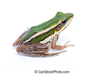 green frog (green paddy frog)