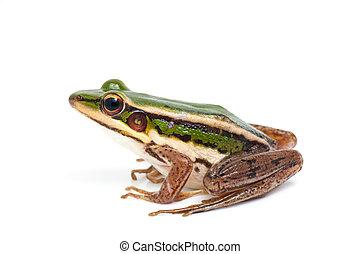 green frog (green paddy frog)