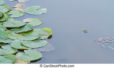 green Frog head in the pond