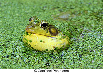Green Frog In A Pond - Green Frog (Rana clamitans) calling...