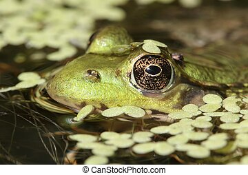Green Frog In A Pond