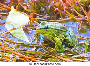 Green Frog in backwater natural